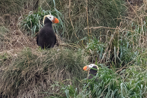 Tufted Puffins | by Scrumhalf