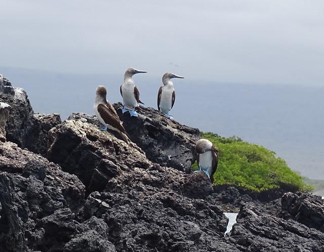 Fauna Islote Tintoreras Isla Isabela Parque Nacional Galapagos Ecuador 10