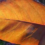 leaf rose P1040604