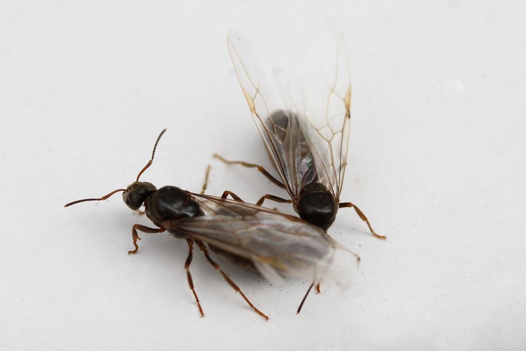 Super Ameise am 17.07.2016 | Zwei fliegende Ameisen auf einem Fens VS19
