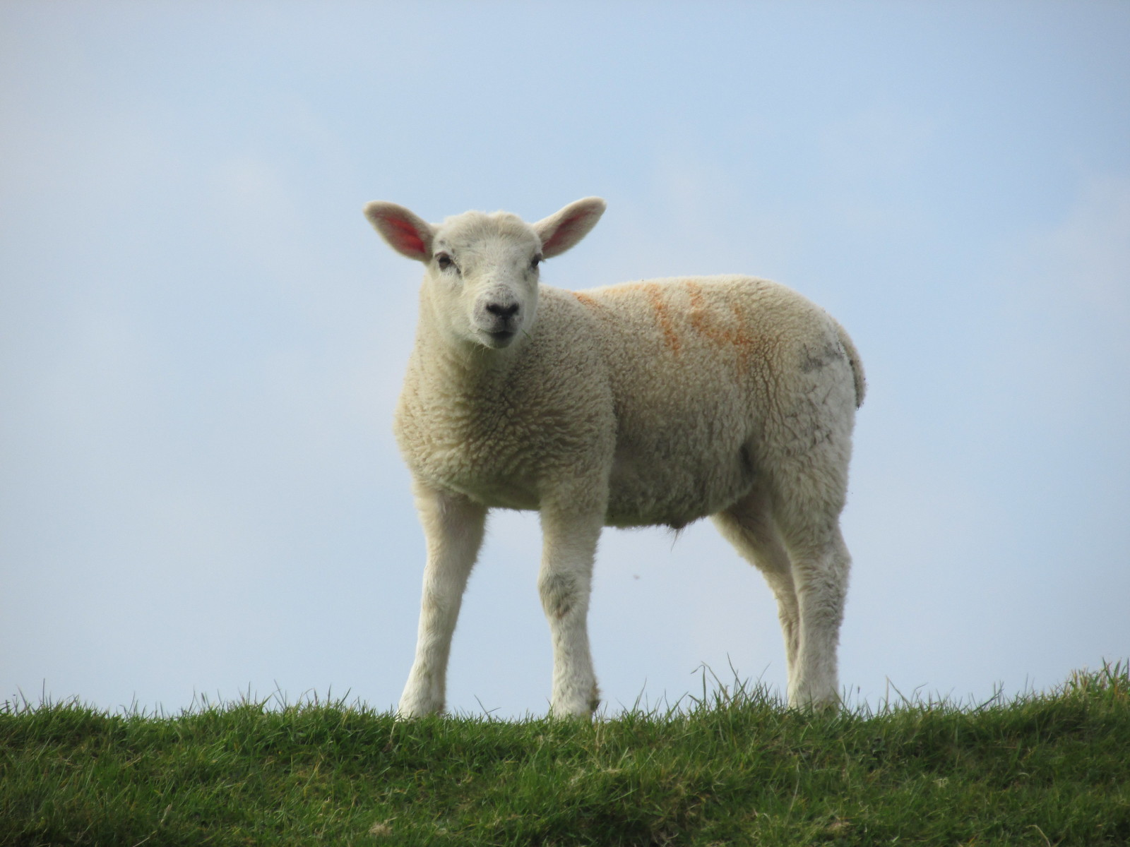 April 6, 2015: Glynde to Seaford Cuckmere Haven lamb