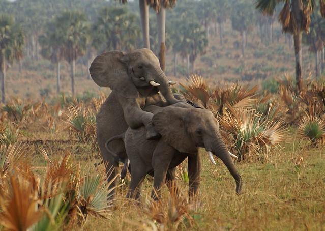 mating elephants Murchison Falls NP Uganda 1