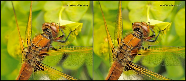 Scarce chaser - 3d cross-view