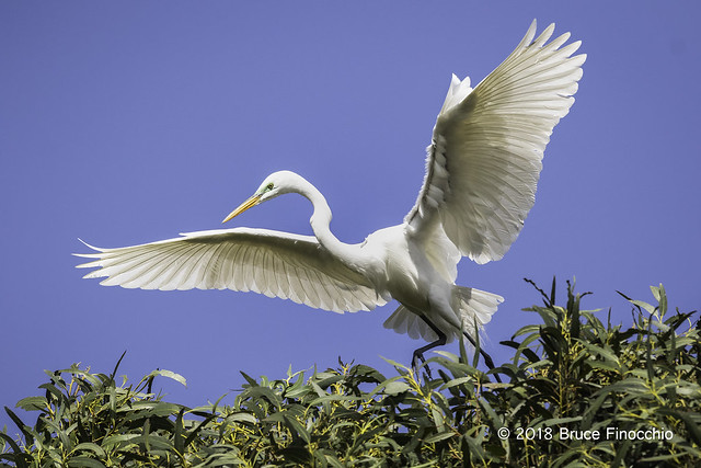 Great Egret Uses Wings To Balance On The Top Crown Of A Tree
