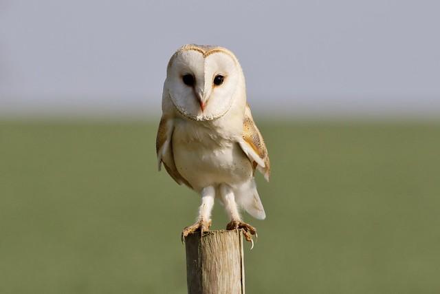 Barn Owl - Wild (Tyto alba)
