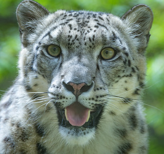 Happy-looking Snow Leopard (Panthera uncia) | by Wade Tregaskis