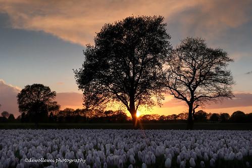 trees sunset tree spring zonsondergang tulips tulip fields bulbs lente oud overijssel hardenberg fruhling fruh vechtdal bergentheim overijsselsvechtdal vechtdaloverijssel oudbergentheim vechtdalfoto vechtdalstromen