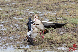 Egyptian Geese (Alopochen aegyptiacus) | by DragonSpeed