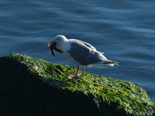 Gull Eating Sea Star 1 of 4 - P1170385 | by KevinHHood