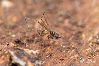 Daddy-long-legs spider (Holocneminus multiguttatus) - DSC_7177