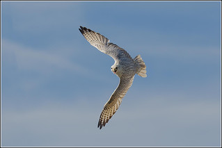 Gyrfalcon (Captive) Display by the Hawking Centre | by Smudge 9000