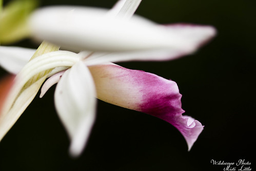 groundorchid4 | by Oceanic Wilderness