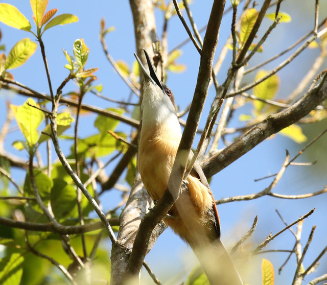 Coccyzus vetula ♂ Jamaican Lizard Cuckoo
