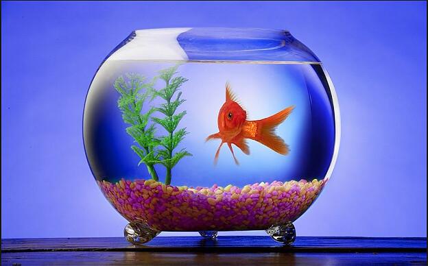 goldfish daily telegraph