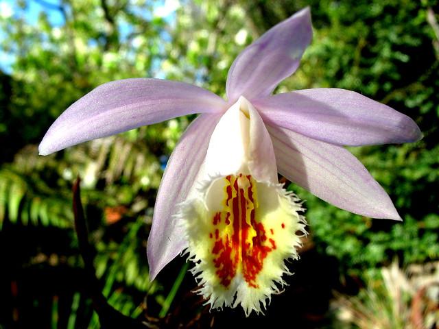 Orchid - Pleione