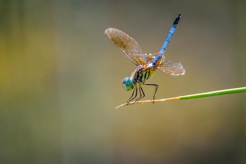 summer color dragonfly bug wildlife macro beauty insect dof bluedasher hot philadelphia pennsylvania unitedstates us nikon d7200