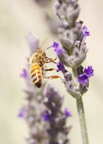 Honey Bee and Goodwin Creek Lavender | by shinycolors