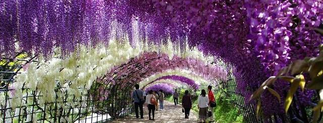 westeria-flower-kawachi-fuji-garden-kitakyushu-japan1[1]