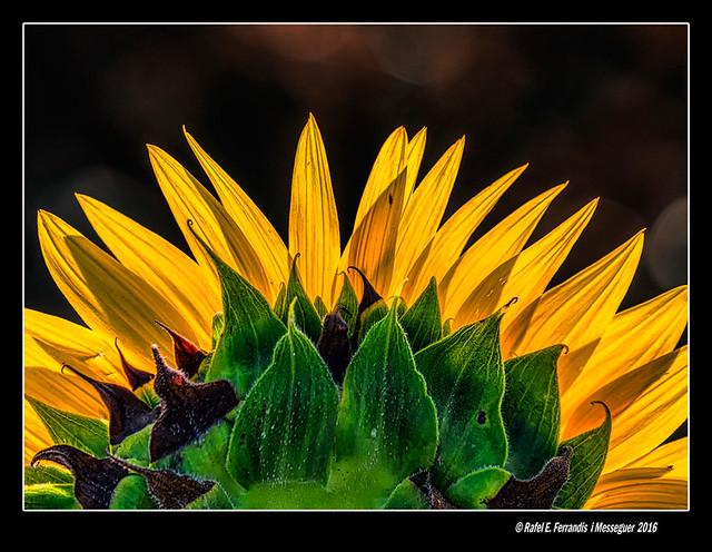 Detall de gira-sol a contrallum (Backlighted sunflower's detail) Els Alforins, la Vall d'Albaida, València, Spain