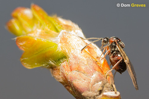 Oak Gall Wasps VI | by Dom Greves