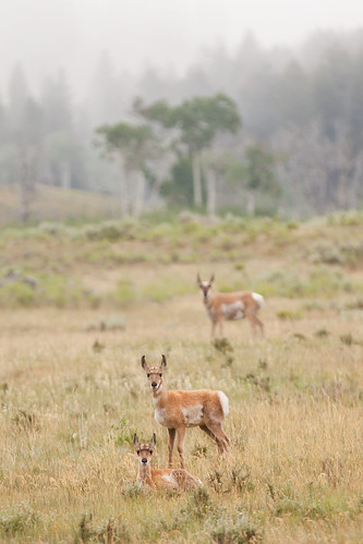 Antelopes in the Field | by Philip Michael Photo