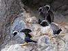 Spotted shag Phalacrocorax punctatus by Maureen Pierre