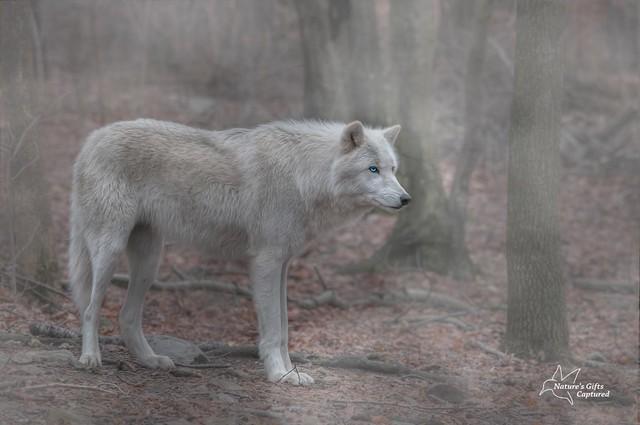 White Wolf Full Profile Fog
