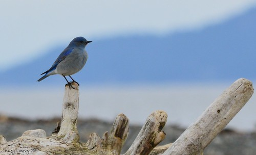 Mountain Bluebird | by bcsongbird