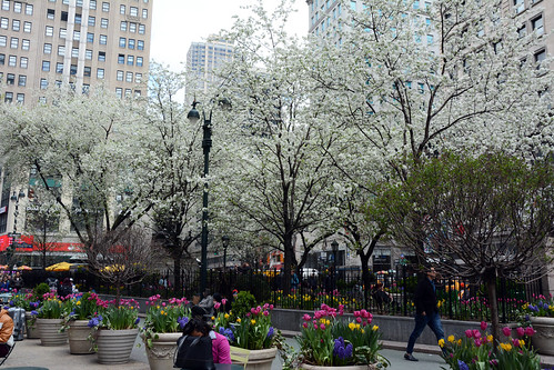 Picture Of Herald Square Park On Broadway & Avenue Of The Americas Between West 34th Street And West 35th Street  In New York City. Notice The White Cherry Blossom Trees Are In Bloom. Picture Taken Friday April 24, 2015