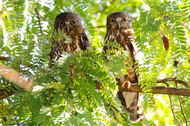 นกเค้าเหยี่ยว / Brown Boobook / Ninox scutulata