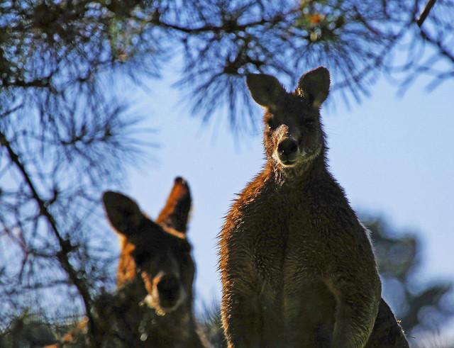 Red Kangaroos : Inquisitive . . .
