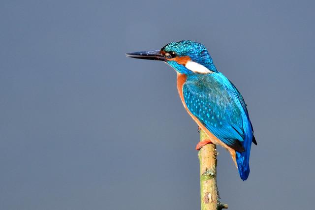 Eisvogel - kingfisher - alcedo atthis