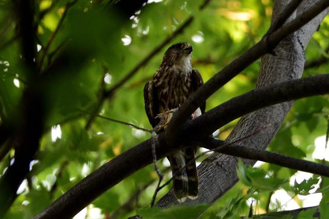 Faucon pèlerin ----------- Peregrine falcon ----------- Halcón peregrin
