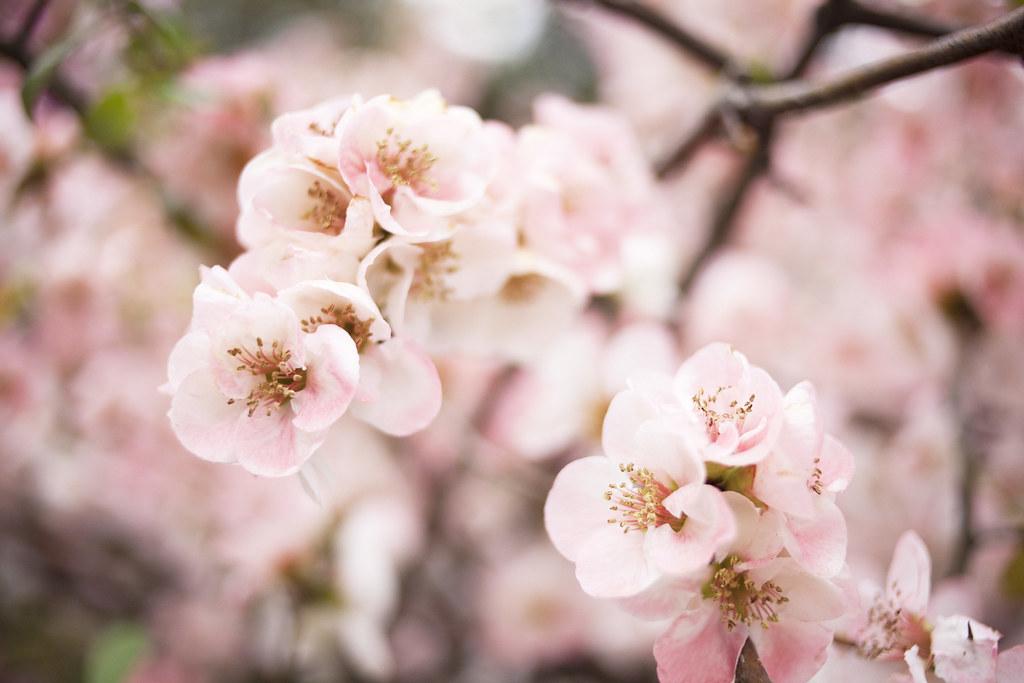 cherry blossom, tokyo, japan_IMG_4878