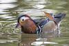 Mandarin Duck by RuudVisser