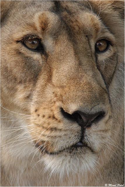 Close up.. Asiatic lioness