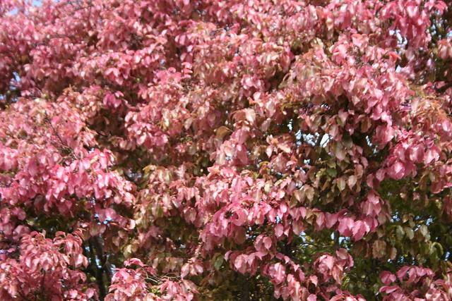 Série sobre a Sapucaia: folhas e flores de uma Sapucaia 8 464