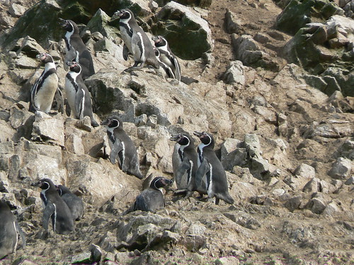 Humboldt penguins | by Sarah and Iain
