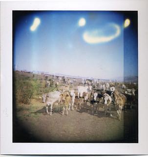 roid_cows