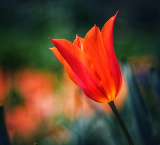 Sonnenberg Gardens & Mansion Historic Park ~ Canandaigua NY  - Red Tulip with Bokehs | by Onasill ~ Bill Badzo