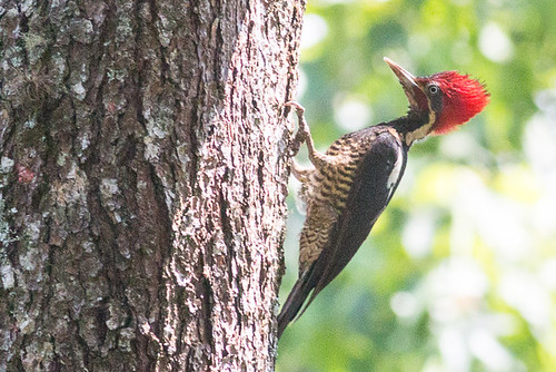 Lineated Woodpecker - male
