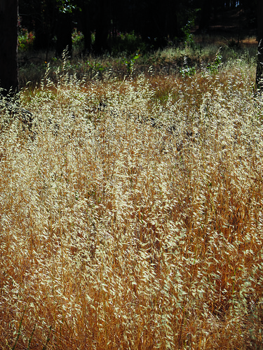 Grasses in the Point Pinole Meadow | by T. Christensen