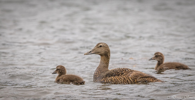 Eider Duck and chicks