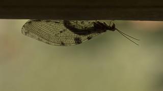Osmylus fulvicephalus | by kahhihou