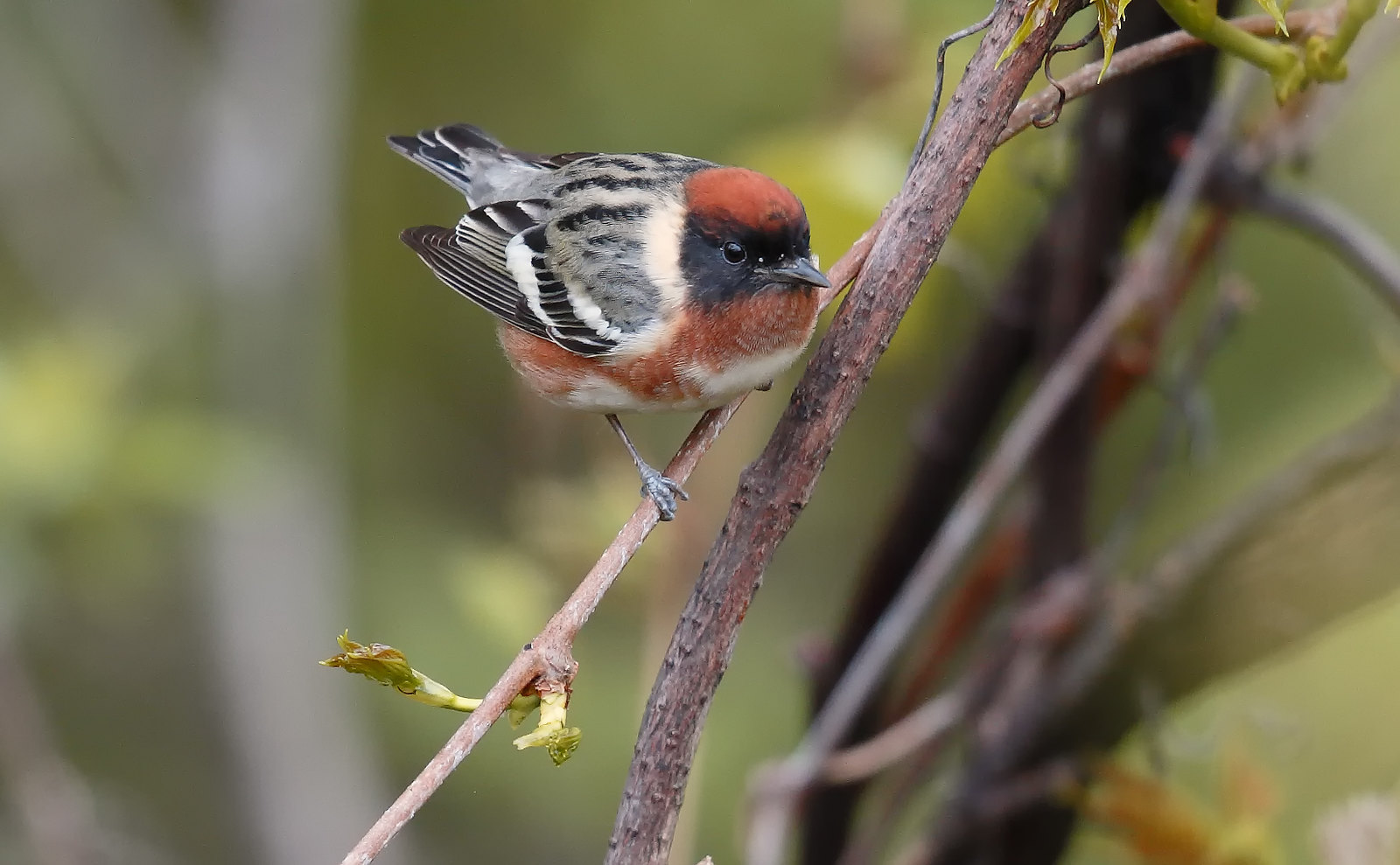 Bay-breasted Warbler [male]
