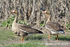 Greater White-fronted Goose (Anser albifrons), adult DSC_6787 by fotosynthesys