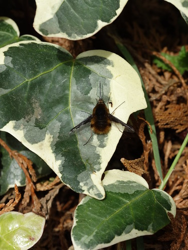 Beefly on ivy | by stephanellidesigns