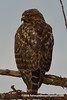 Western Red-shouldered Hawk (Buteo lineatus elegans), juvenile DSC_8051 by fotosynthesys