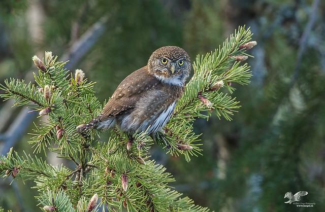 Spring SInger (Northern Pygmy Owl)