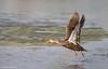 Mottled Duck (Anas fulvigula) - West Vero Wetlands, Vero Beach, Florida by JFPescatore